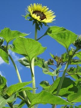 sunflower photo sm