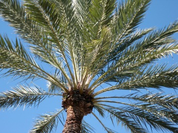 Feels warm and sunny just looking up into the palms.