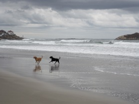 Horizontal photo. Two dogs chasing each other, running on beach, gray-colored sand, surf, and cloud-filled sky near Gloucestor, MA.