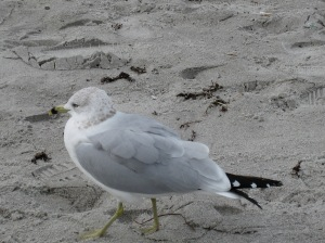 Small bird on a beach. Tail feathers appear to be polka dotted.