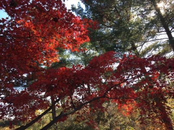 red-maple-mary-sm