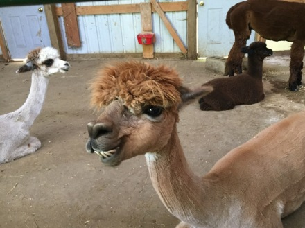 Caramel-colored alpaca in the foreground. White-colored alpaca to the left. Dark-brown-colored baby and mama alpaca in the background in a barn